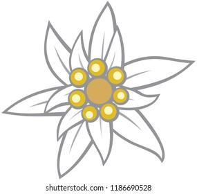 Edelweiss flower vector illustration