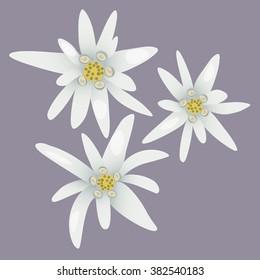 Edelweiss flowers.
