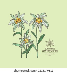 Edelweiss: edelweiss flowers and leaves. Leontopodium. Cosmetic and medical plant. Vector hand drawn illustration