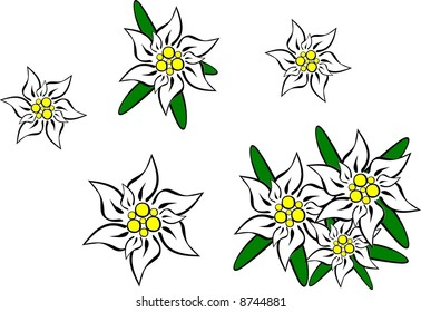 Edelweiss-Blumen - Vektorgrafik.