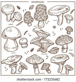 Edible mushrooms sketch vector icons champignon, chanterelle and morel mushroom