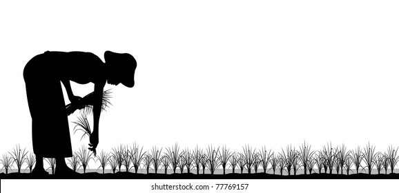 Editable vector silhouette of an asian woman planting rice seedlings in a paddy field