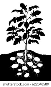 Editable vector silhouette of a complete potato plant