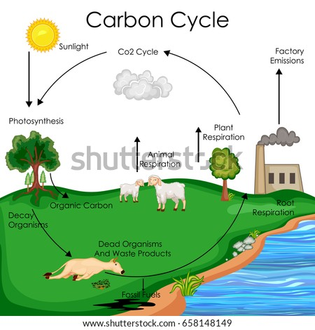 Education Chart Biology Carbon Cycle Diagram Stock Vector Royalty
