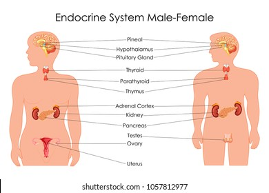 endocrine glands images, stock photos & vectors shutterstock female endocrine glands endocrine gland diagram labeled #6