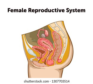 education chart of biology for female reproductive system diagram  vector  illustration eps10
