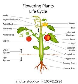 plant part images, stock photos \u0026 vectors shutterstock Plant Diagram Labeled