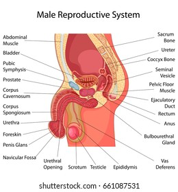 Education Chart of Biology for Male Reproductive System Diagram. Vector illustration