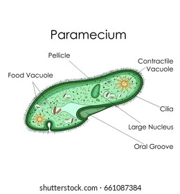 Education Chart of Biology for Paramecium Diagram. Vector illustration