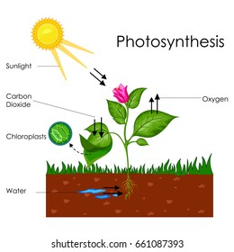 Vectons portfolio on shutterstock education chart of biology for photosynthesis process diagram vector illustration ccuart Choice Image