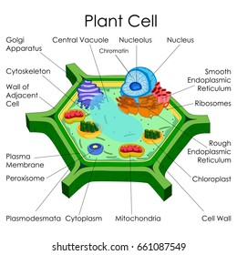 Education Chart of Biology for Plant Cell Diagram. Vector illustration