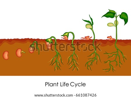 education chart biology plant life cycle stock vector (royalty free Cycletree Life education chart of biology for plant life cycle diagram vector illustration