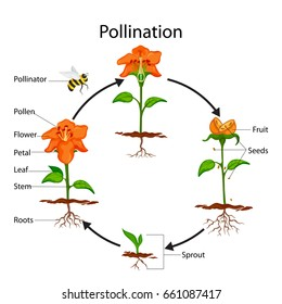 Education Chart of Biology for Pollination Process Diagram. Vector illustration