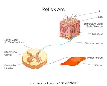 Spinal reflex arc images stock photos vectors shutterstock education chart of biology for reflex arc diagram vector illustration ccuart Gallery