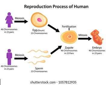 Education Chart of Biology for Reproduction Process of Human Diagram. Vector illustration.