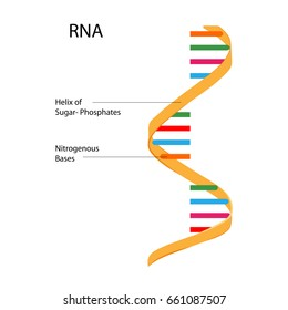 Education Chart of Biology for RNA Structure Diagram. Vector illustration