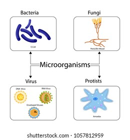 Education Chart of Biology for Types of Microorganism Diagram. Vector illustration.