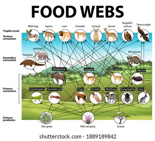Lehrposter für Biologie zur Veranschaulichung von Nahrungsnetzbildern