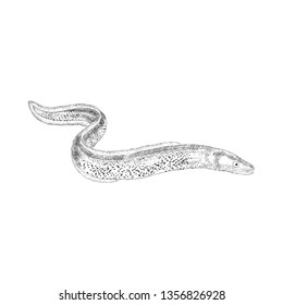 Eel fish illustration vector in hand drawn style
