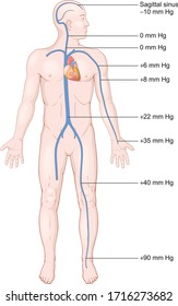 Effect of gravitational pressure on the venous pressures throughout the body in the standing person