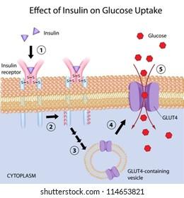 Effect of Insulin on glucose uptake