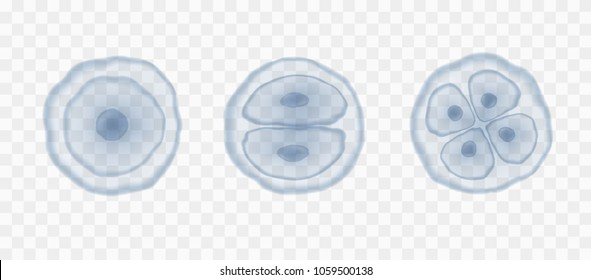 Egg human microscopic cells isolated on transparent background. Vector magnification reproduction stem conception template. Blue health nucleus cells patern.