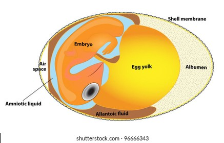 egg scheme. egg context. Interior view of a bird's egg. Porous shell enclosing an embryo and the substances that nourish it during incubation. Animal biology. Structure bird egg. bird embryo.