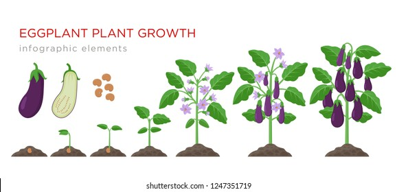 Eggplant growing process from seed to ripe vegetables on plants isolated on white background. Eggplant growth stages, plant life cycle infographic elements in flat design.
