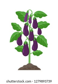 Eggplant plant with ripe purple fruits growing in the ground vector illustration isolated on white background.