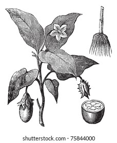 Eggplant or Solanum melongena, vintage engraving. Old engraved illustration of an eggplant plant showing flowers and fruit (left), root (upper right) and fruit cross-section (lower right).