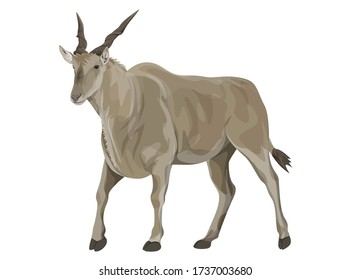 Eland Bull from Africa walking.