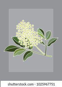 Elder flower branch vector illustration with white outline on grey background