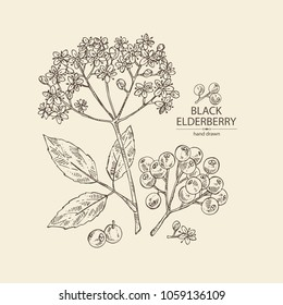 Elderberry black: branch of elderberry , berries,  flowers and leaves. Vector hand drawn illustration.