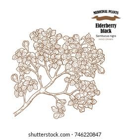 Elderberry black common names sambucus nigra. Hand drawn elder branch with flowers vector illustration isolated on white background.