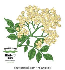 Elderberry black, sambucus. Hand drawn elder branch with flowers vector illustration isolated on white background.