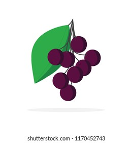 elderberry fruit vector illustration