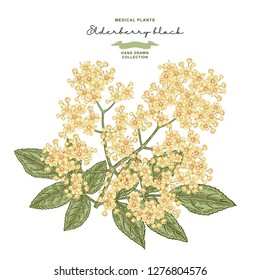 Elderflower branch isolated on white background. Hand drawn elder or sambucus with flowers and leaves. Vector illustration vintage.
