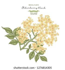 Elderflower branch isolated on white background. Hand drawn elder or sambucus with flowers and leaves. Vector illustration vintage.