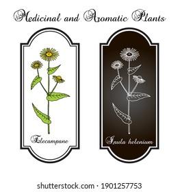 Elecampane (inula helenium), or horse-heal, or elfdock, medicinal plant. Hand drawn botanical vector illustration