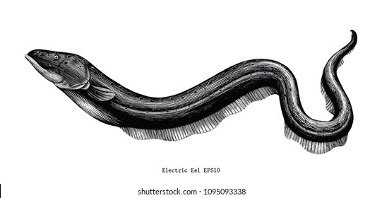Electric Eel hand drawing vintage engraving illustration