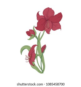 Elegant blooming red Amaryllis flowers, buds and leaves hand drawn on white background. Detailed natural drawing of gorgeous cultivated flowering garden plant. Vector illustration in vintage style