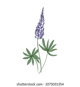 Elegant botanical drawing of Lupine purple flowers and green leaves isolated on white background. Beautiful wild meadow flowering herbaceous plant. Floral vector illustration in vintage style