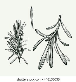 Elegant hand drawn illustration of rosemary twig. Nice graphic food flavoring.