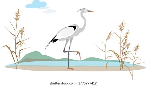 An elegant heron bird stands on one foot on the coast of the lake surrounded by reeds.