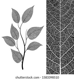 Elegant leaf. Botanical ideal leaves on branch isolated on background. Beautiful vein skeleton design in black and white color. Modern minimalism style, perfect for print or poster