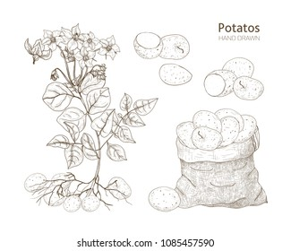 Elegant monochrome botanical drawings of potato plant with flowers, tubers and vegetables in bag. Edible crop hand drawn with contour lines on white background. Vector illustration in engraving style