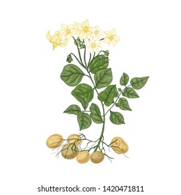 Elegant natural drawing of potato plant with flowers, roots and tubers. Edible cultivated tuberous crop isolated on white background. Colorful hand drawn vector illustration in vintage style.