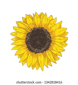 Elegant natural realistic drawing of sunflower head. Detail or part of gorgeous flower or cultivated crop hand drawn on white background. Botanical floral vector illustration in vintage style.