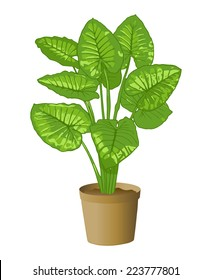 Elephant ear plant, Taro