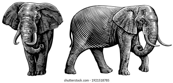 Elephant. Front and side views. Art detailed editable illustration. Vector vintage engraving. Isolated on white background. 8 EPS